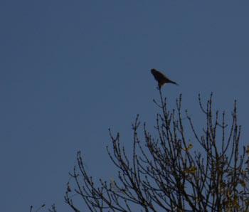 einvogel